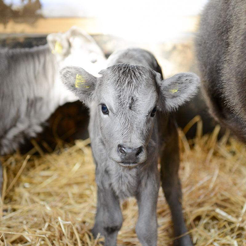 Mini Rinderrassen